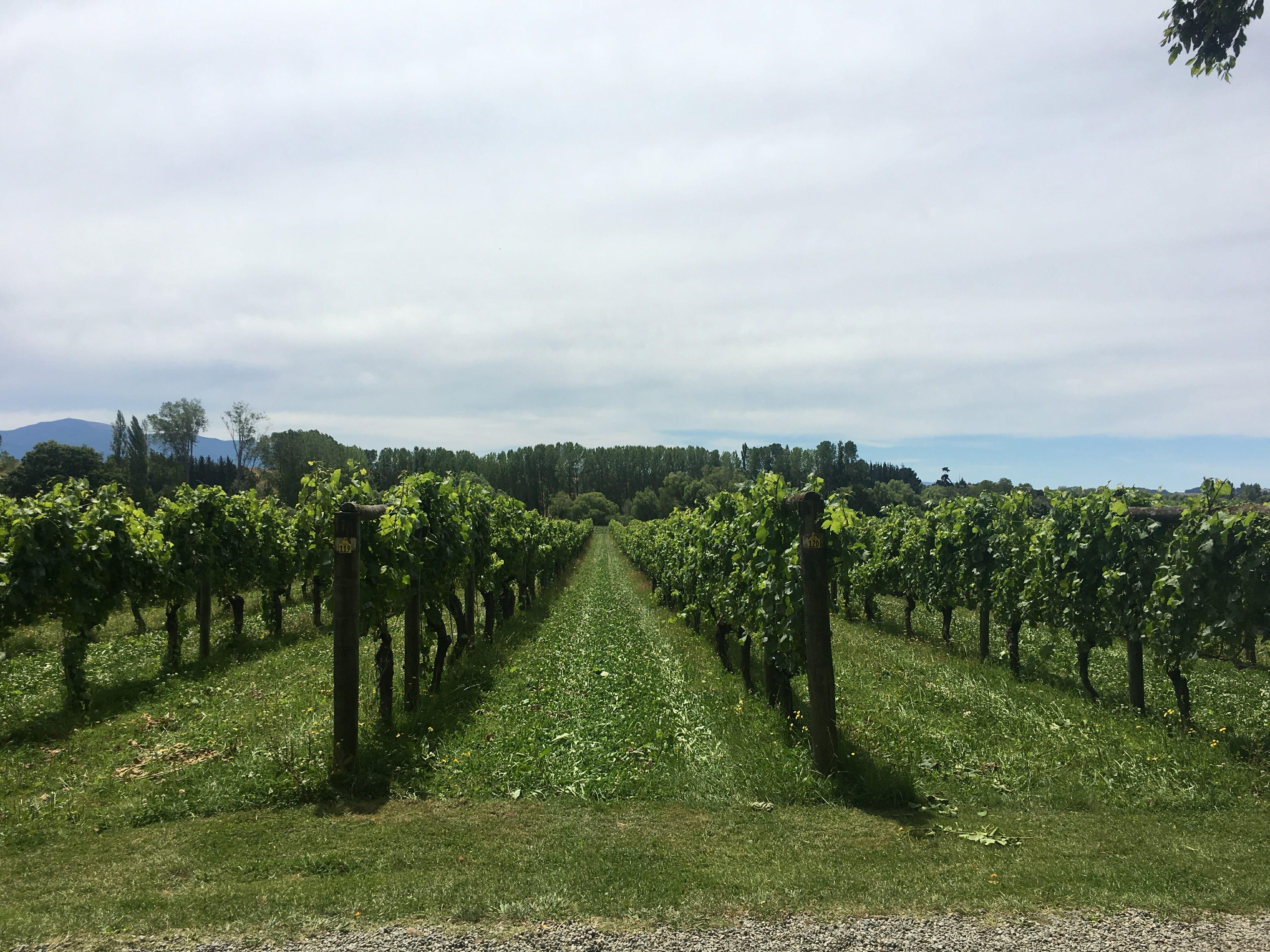 Le vin en Nouvelle-Zélande, vignes dans la région de Hawkes Bay